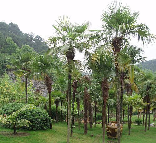 500pxtrachycarpusfortunei